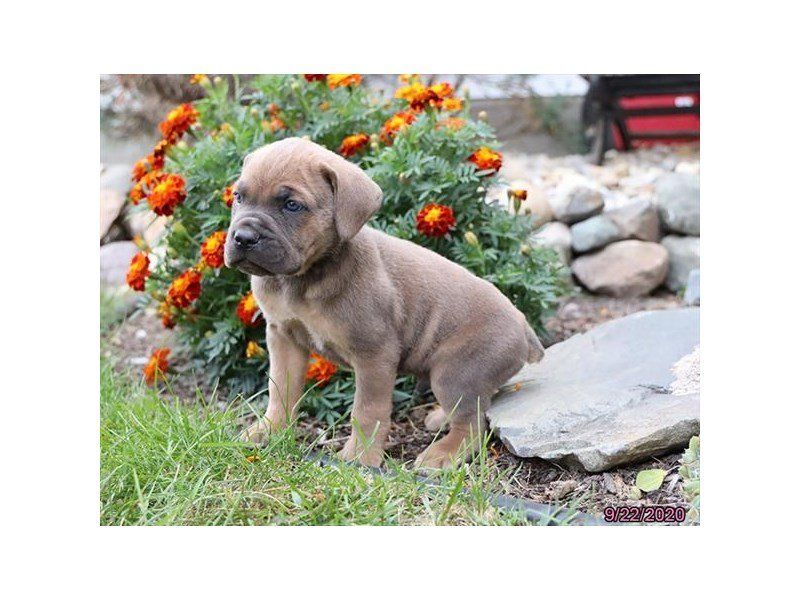 Cane Corso-Male-Blue / Tan-2875941-Petland Carriage Place