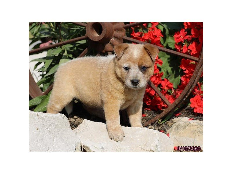 Australian Cattle Dog-Male-Red-2861421-Petland Carriage Place