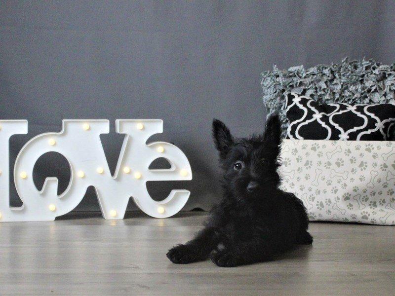 Scottish Terrier-Female-Black-2875935-Petland Carriage Place