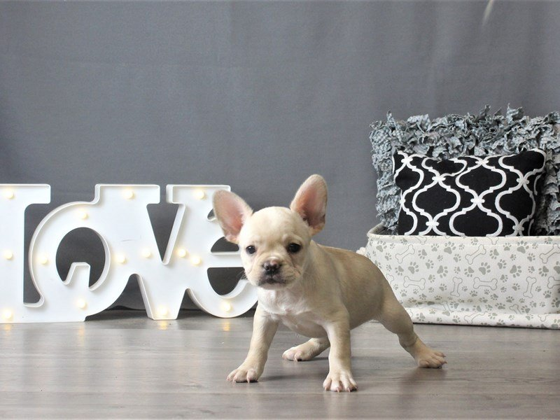 French Bulldog-Female-Cream-2882791-Petland Carriage Place