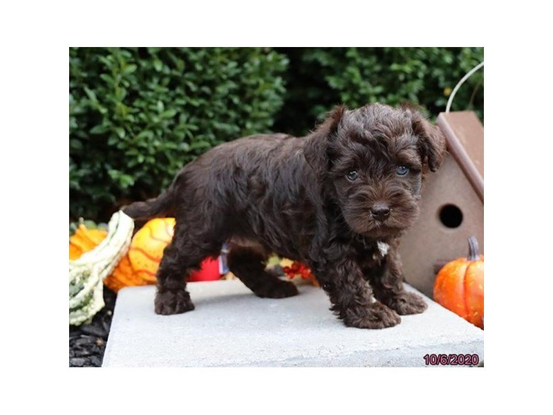 Schnoodle-Male-Chocolate-2889433-Petland Carriage Place