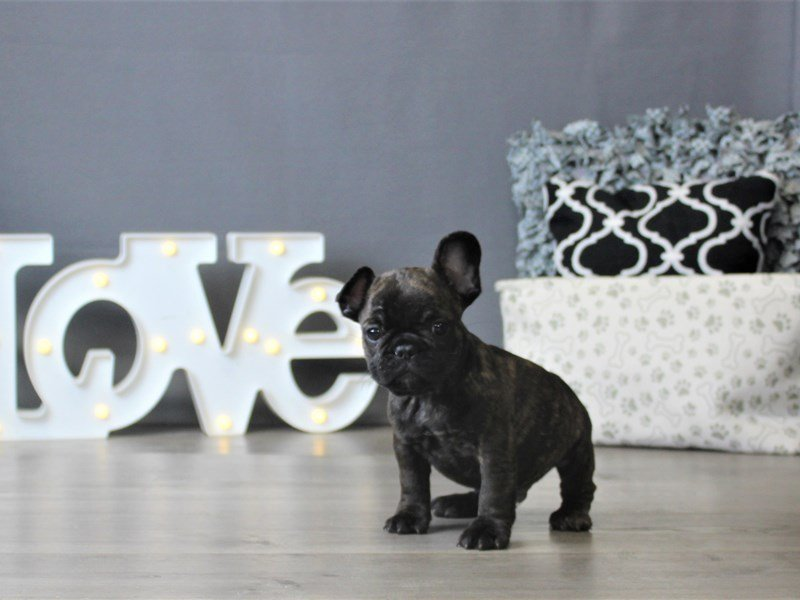 French Bulldog-Male-Black Brindle / White-2896372-Petland Carriage Place