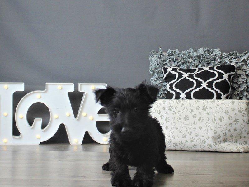 Scottish Terrier-Male-Black-2917659-Petland Carriage Place
