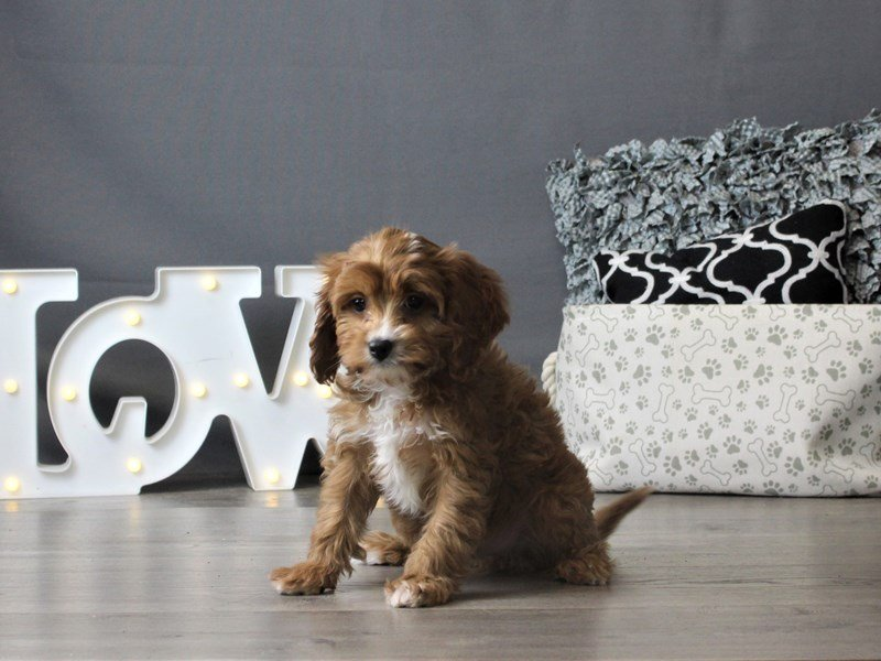 Cavalier King/Poodle-Male-Red-2932650-Petland Carriage Place