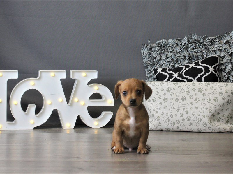 Chiweenie-Male-Red Dapple-2932572-Petland Carriage Place