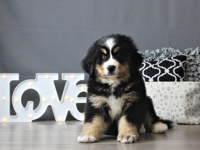 Bernese Mountain Dog-Female-Black / Rust-2954842-Petland Carriage Place