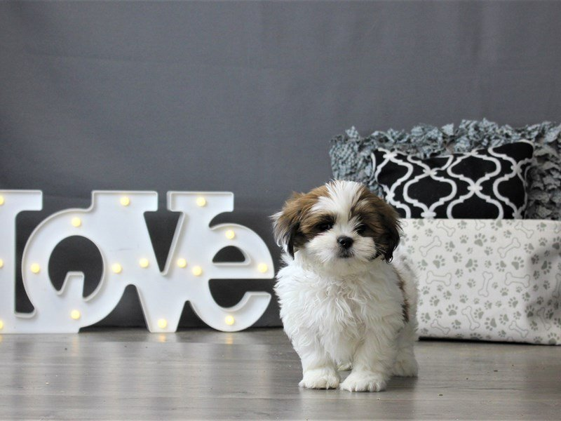 Lhasa Apso-Male-Red / White-2954837-Petland Carriage Place