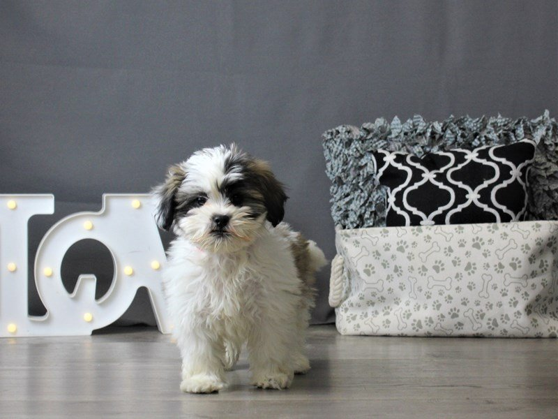 Lhasapoo-Female-Brown / White-2963493-Petland Carriage Place
