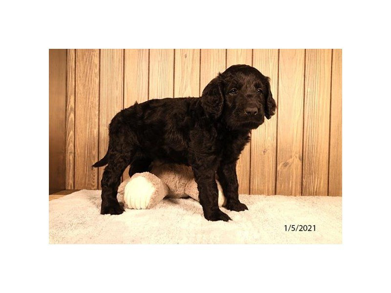 Goldendoodle 2nd Gen-Female-Black-2988377-Petland Carriage Place