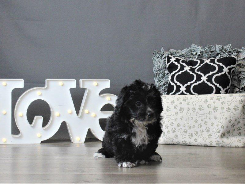 Mini Aussie Poo-Female-Black / White-2988486-Petland Carriage Place