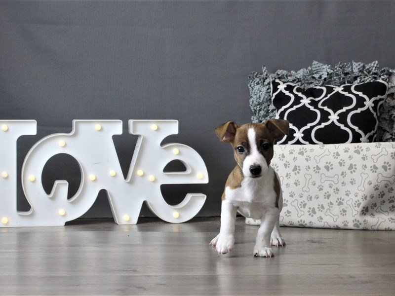 Jack Russell Terrier-Male-Brown / White-2988374-Petland Carriage Place