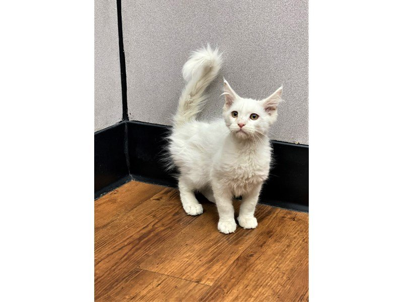Maine Coon-Male-White-2965867-Petland Carriage Place