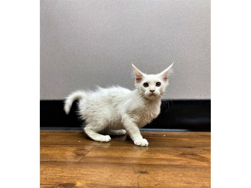 Maine Coon-Male-White-2965895-Petland Carriage Place