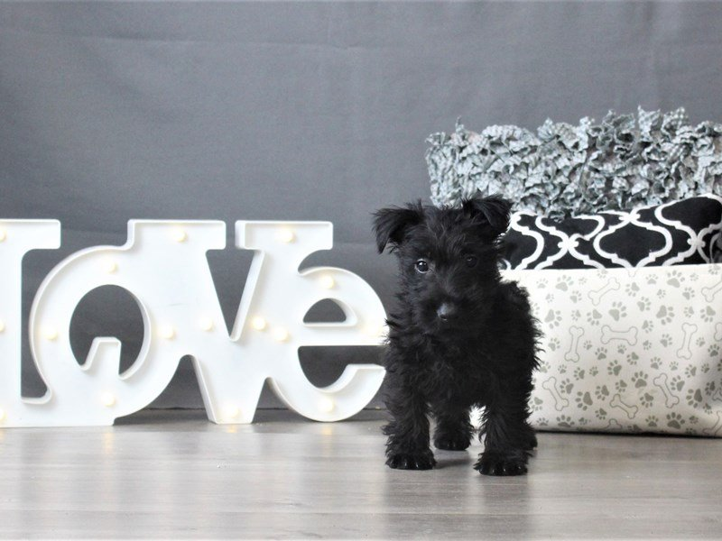 Scottish Terrier-Female-Black-2996835-Petland Carriage Place