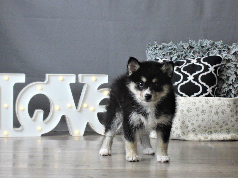 Pomsky-DOG-Female-Black Tan / White-2980142-Petland Carriage Place