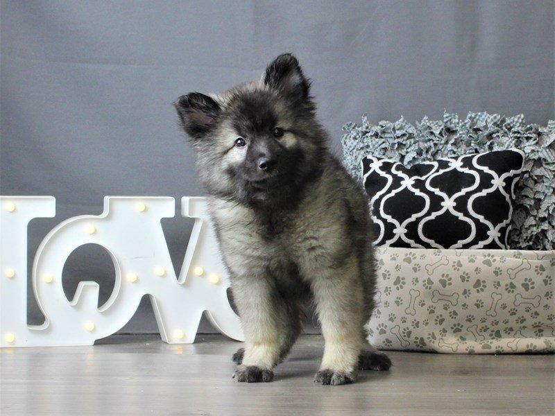 Keeshond-DOG-Female-Black/ Silver-2980424-Petland Carriage Place