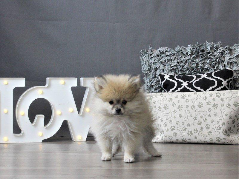 Pomeranian-DOG-Male-Wolf Sable-2996840-Petland Carriage Place