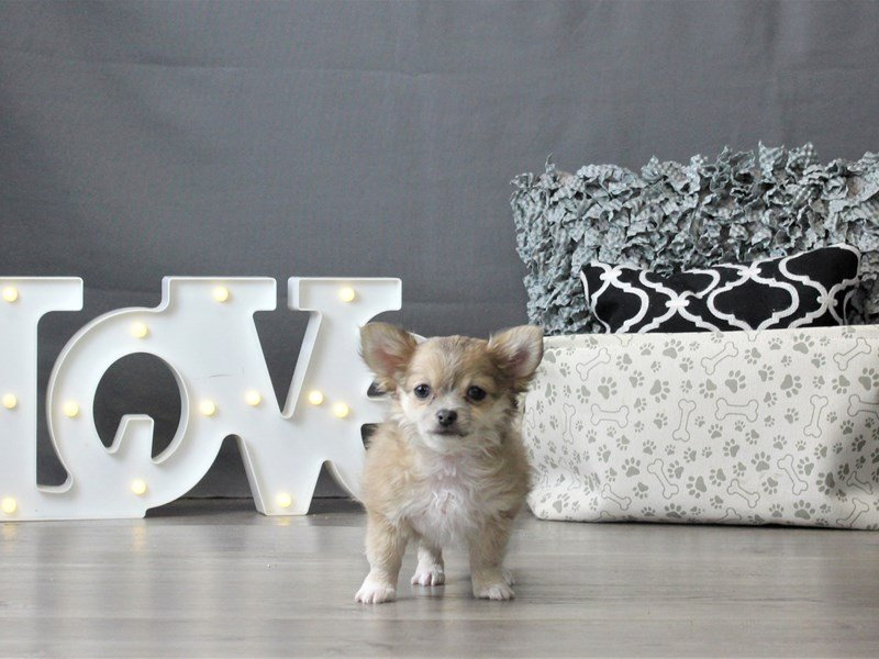 Chihuahua-DOG-Female-Blue Fawn-2996850-Petland Carriage Place