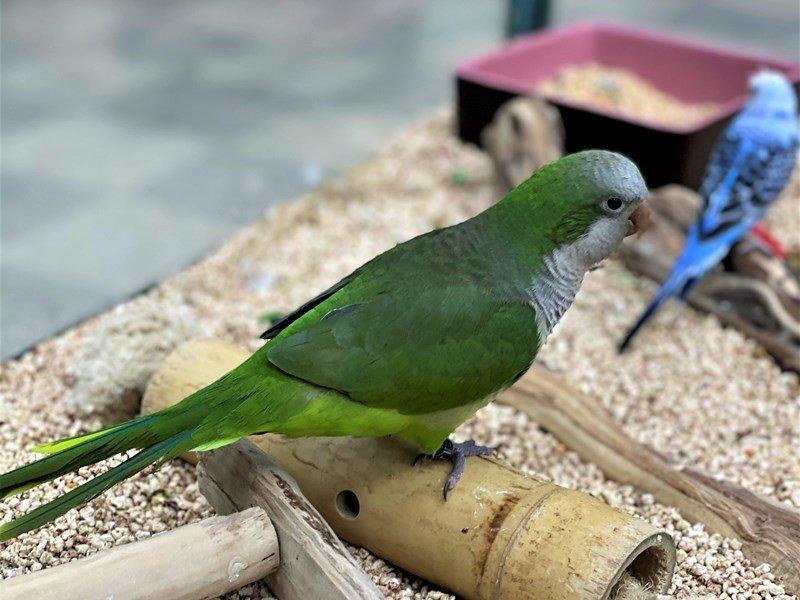 Quaker Parrot--Green-3023804-Petland Carriage Place