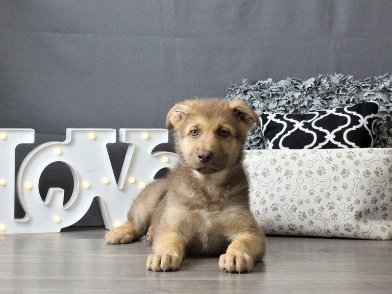 German Shepherd Dog-DOG-Male-Liver / Tan-3024870-Petland Carriage Place