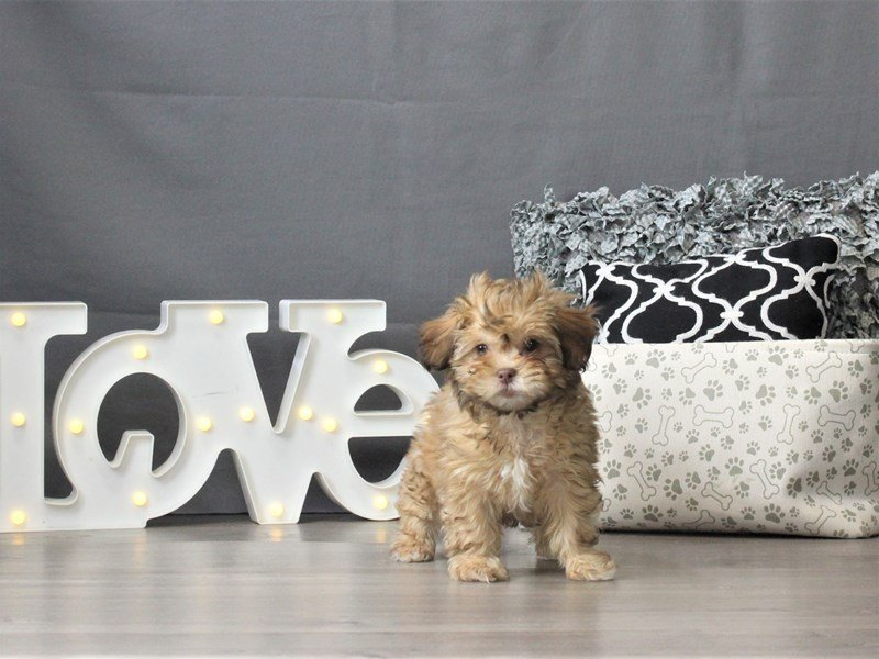 ShizaPoo-Female-Red Sable-3024926-Petland Carriage Place