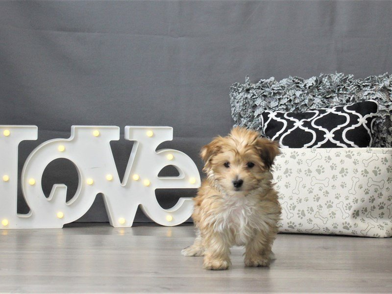 Morkie-Male-Gold-3024980-Petland Carriage Place