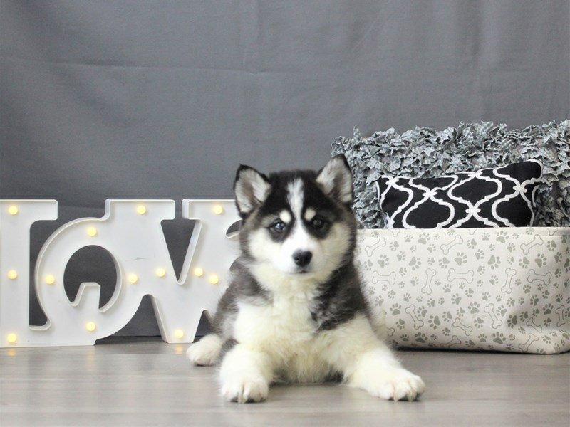 Samsky-DOG-Female-Black / White-3025062-Petland Carriage Place
