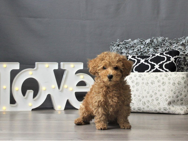Poodle-DOG-Male-Red-3024877-Petland Carriage Place