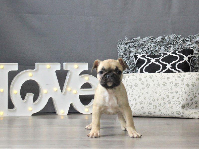 French Bulldog-DOG-Female-Fawn-3024882-Petland Carriage Place