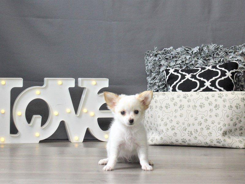 Chihuahua-DOG-Male-Cream-3024866-Petland Carriage Place