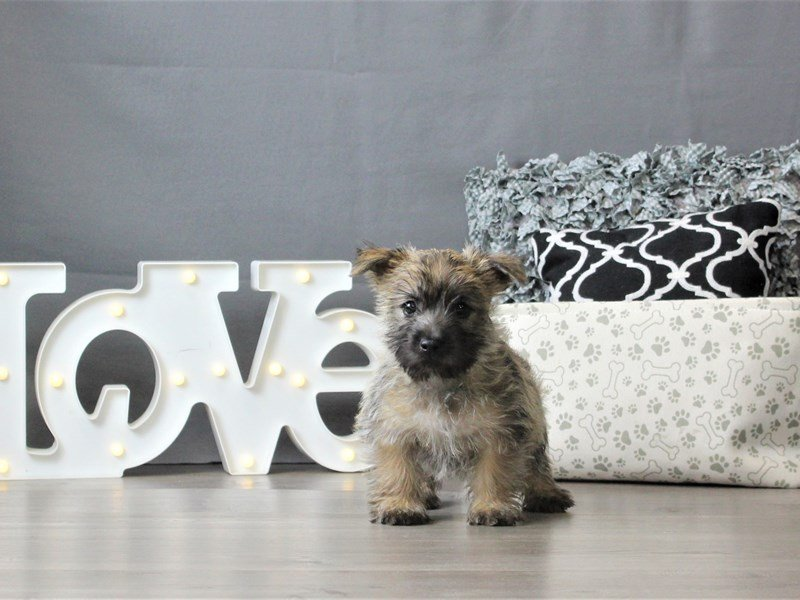 Cairn Terrier-DOG-Male-Wheaten-3024886-Petland Carriage Place