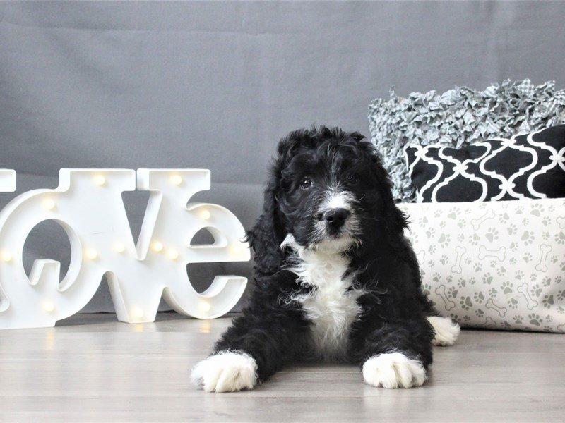 Bernadoodle-DOG-Male-Black / White-3035043-Petland Carriage Place