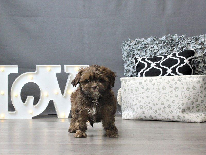 ShizaPoo-DOG-Female-Chocolate-3035024-Petland Carriage Place