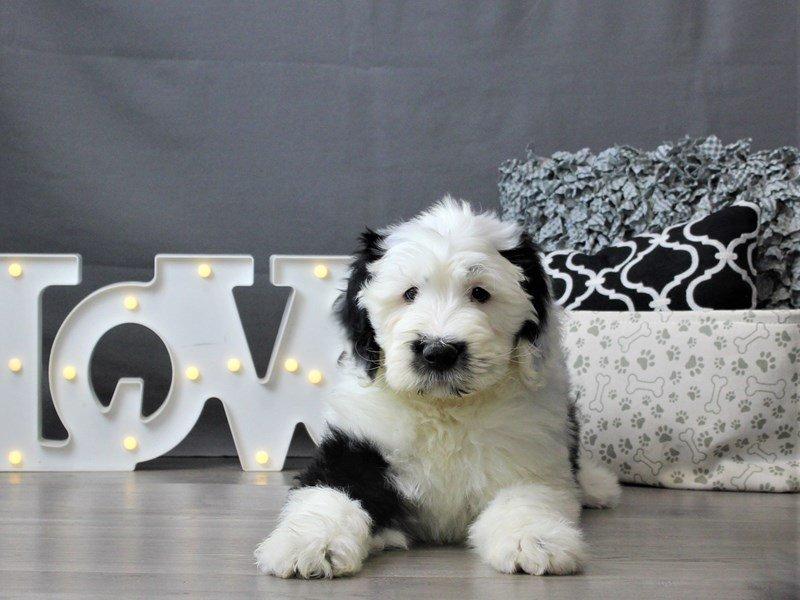 Old English Sheepdog/Poodle-Male-Black / White-3034954-Petland Carriage Place
