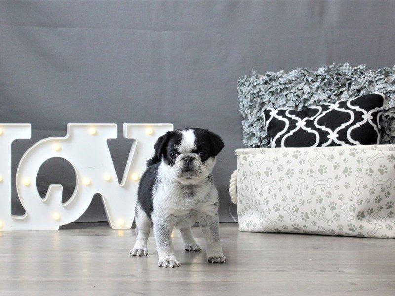 Pug-DOG-Female-Black / White-3034945-Petland Carriage Place