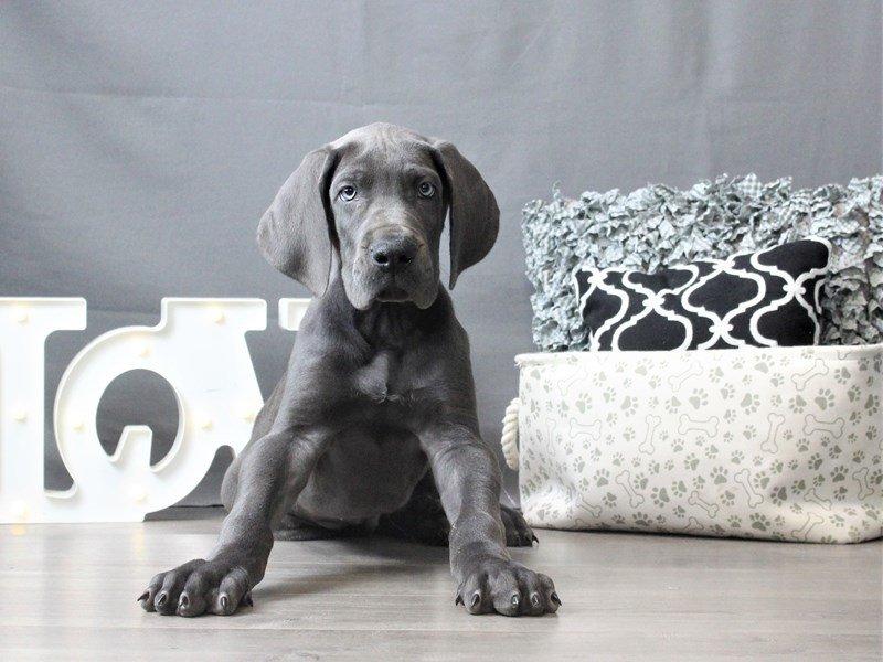 Great Dane-DOG-Male-Blue-3034942-Petland Carriage Place