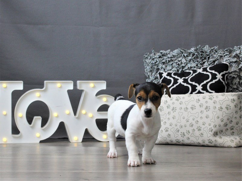 Jack Russell Terrier-Female-Black Tan / White-3035033-Petland Carriage Place