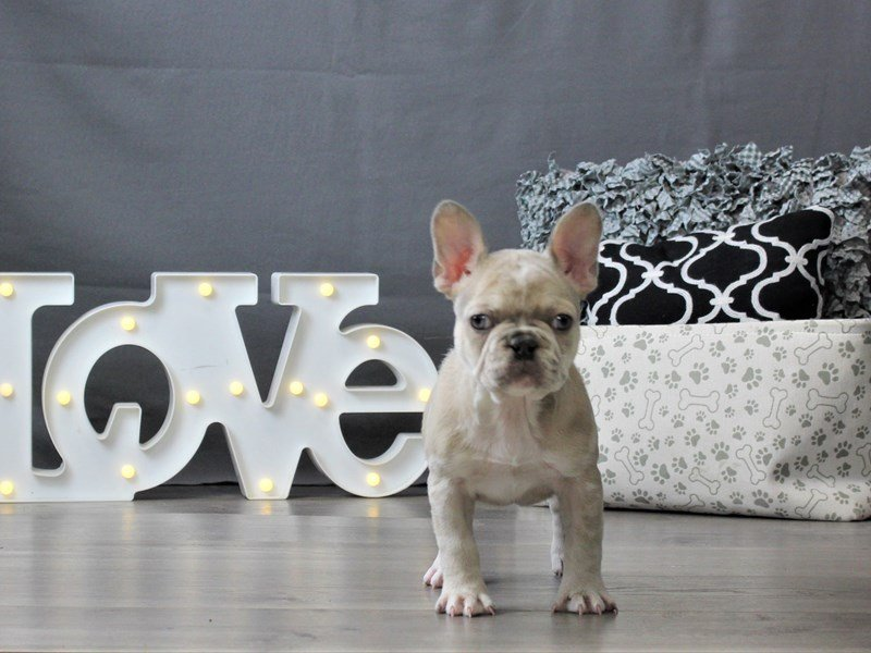 French Bulldog-DOG-Female-Merle-3034956-Petland Carriage Place