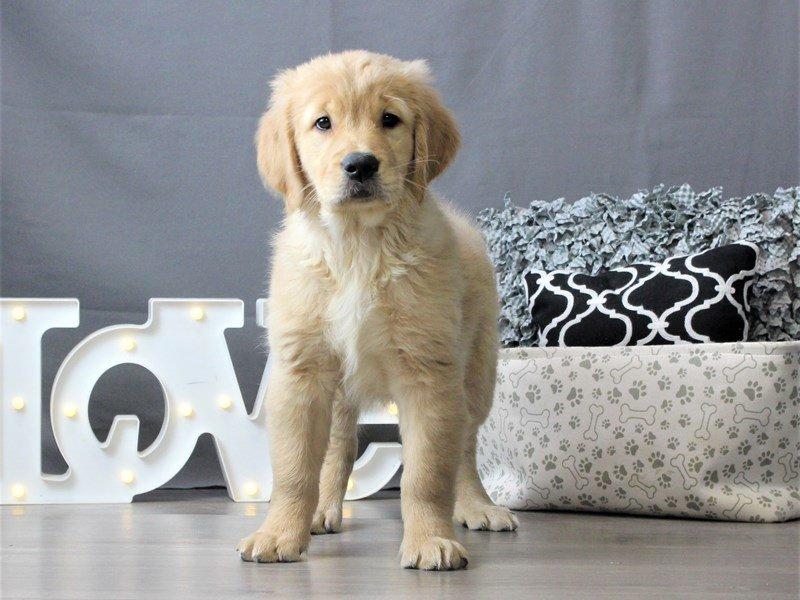 Golden Retriever-DOG-Female-Light Golden-3034943-Petland Carriage Place