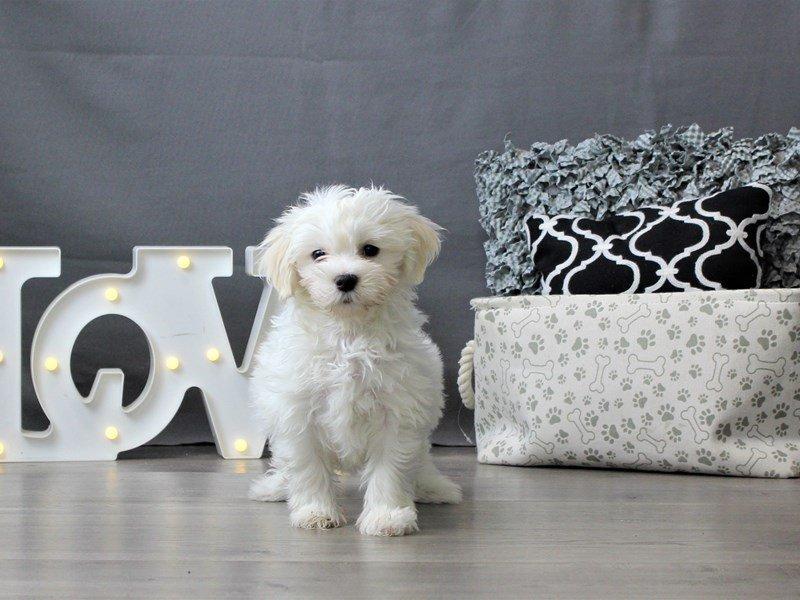 Coton De Tulear-DOG-Male-White-3034940-Petland Carriage Place