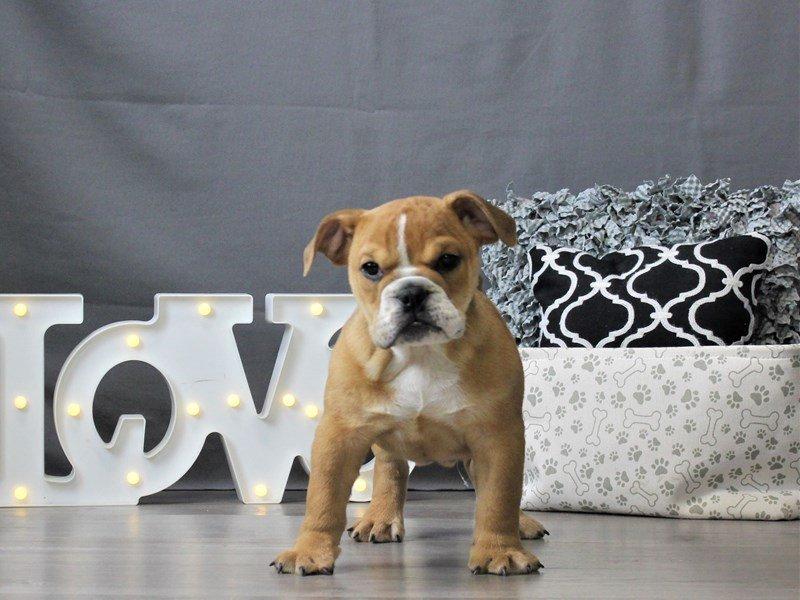 Bulldog/Bulldog-Beagle-DOG-Male-Brown-3044669-Petland Carriage Place