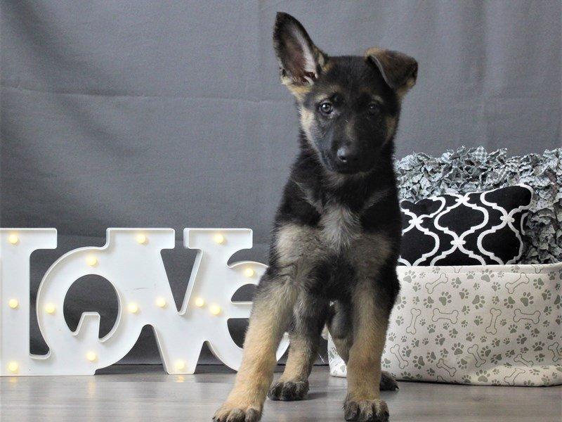 German Shepherd Dog-DOG-Female-Black / Tan-3044645-Petland Carriage Place