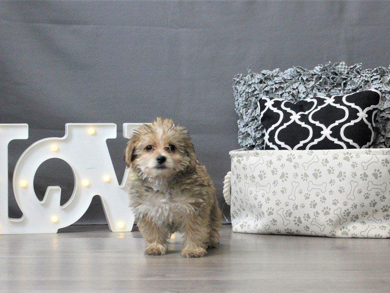 Yorkie/Poodle-DOG-Male-Tan-3044657-Petland Carriage Place