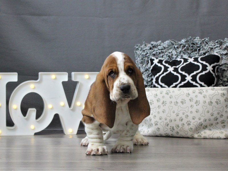 Basset Hound-DOG-Male-Red / White-3044652-Petland Carriage Place