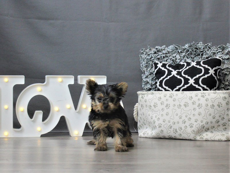 Yorkshire Terrier-DOG-Female-Black White / Tan-3044651-Petland Carriage Place