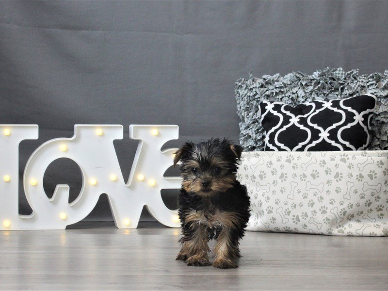 Yorkshire Terrier-DOG-Male-Black / Tan-3044974-Petland Carriage Place