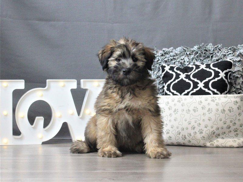 Soft Coated Wheaten Terrier-Male-Wheaten-3044661-Petland Carriage Place