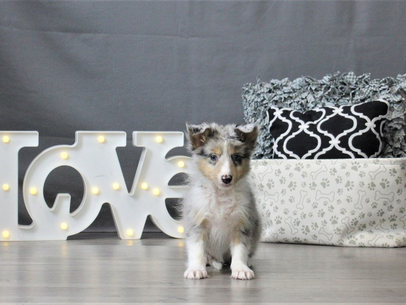 Shetland Sheepdog-DOG-Male-Blue Merle-3044663-Petland Carriage Place