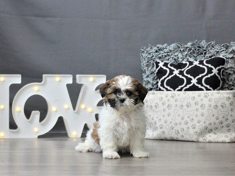 Shih Tzu-DOG-Female-Brown / White-3044697-Petland Carriage Place