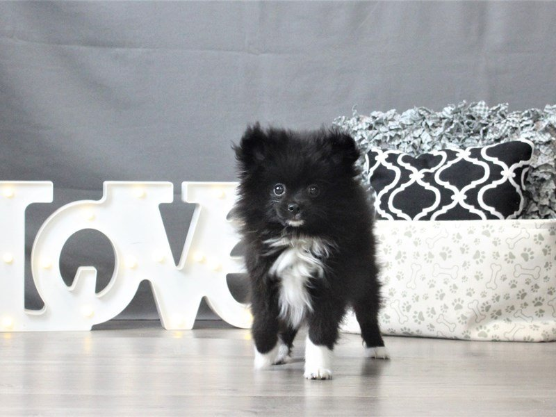 Pomeranian-DOG-Male-Black-3044668-Petland Carriage Place